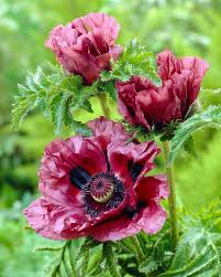 may plant of the month oriental poppies j parkers