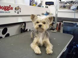 haircut for morkies morkie after beau pinterest photo galleries doggies and dog