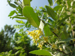 invasive non native plants autumn olive u2013 the skaneateles conservation area