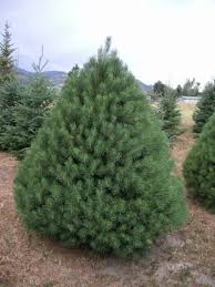 scotch pine christmas tree copenhaver plantations choose and cut christmas trees in