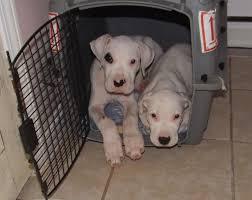 crate training yo amor dogo u0027s crate training dogo argentino puppies