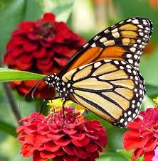 flowers that attract monarch butterflies