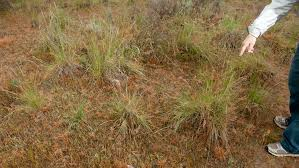 native grass plants attacking invasive cheatgrass at its root u2013 cool green science