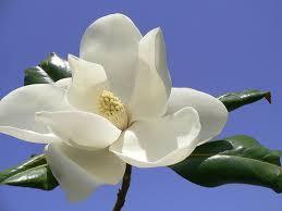 magnolia flowers pictures of magnolia flowers magnolia flower pictures silk