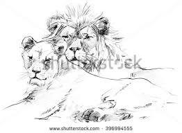 lion sketch stock images royalty free images u0026 vectors shutterstock