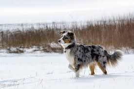 is an australian shepherd smart 7 things only australian shepherd owners understand rover com