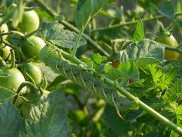 Diseases Of Tomato Plants - tomato plant problems worms rot blight cracking u0026 more the