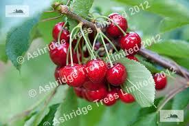 Cherry Tree Fruit - advice on buying cherry trees