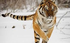 who would win between a siberian tiger and a grizzly quora