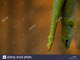 scaly tail stock photos u0026 scaly tail stock images alamy