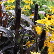 ornamental millet purple baron plants from mr fothergill s seeds