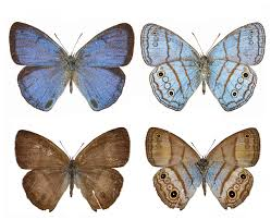 a case of mistaken identity dna links male female butterfly