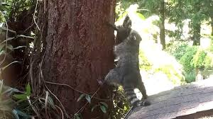 mother raccoon teaches kit how to climb a tree youtube