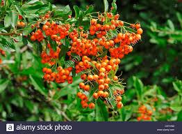firethorn pyracantha sp berries on the bush ornamental trees