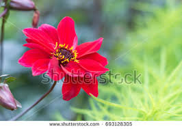 Zinnias Flowers Zinnia Stock Images Royalty Free Images U0026 Vectors Shutterstock