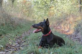 best bark collar for chihuahua dog n treats