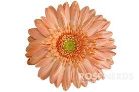 wholesale gerbera daisies wholesale flowers daisies