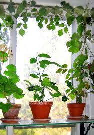 Indoor Fragrant Plants - 42 best indoor gardening houseplants images on pinterest