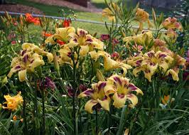 it u0027s all about patterns daylily blog gardening in virginia