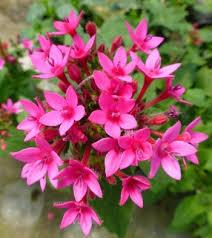 pentas flower pentas cluster butterfly plants almost