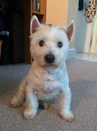 images of westie hair cuts haircuts for westies choice image haircut ideas for women and man
