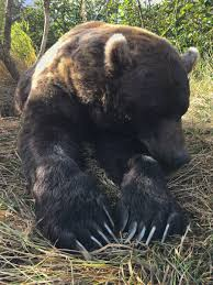 grizzly claws how big are bears claws best 2017