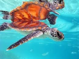 imagenes tortugas verdes las tortugas verdes amenazadas por la pesca y la basura