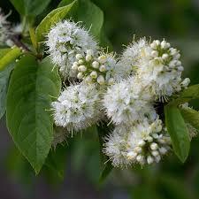 prunus maackii buy manchurian cherry tree flowering cherry trees