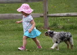australian shepherd indiana sugarleaf australian shepherds home facebook