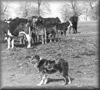 cut n loose australian shepherds cut u0027n loose stockdogs