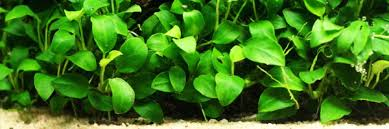 Live Plants In Community Aquariums by 10 Best Freshwater Aquarium Plants For Beginners