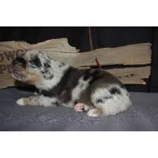 australian shepherd queen creek az cowgirl puppy ranch australian shepherd dog breeder in queen