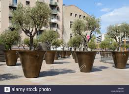 Large Planters For Trees by Giant Planters Or Flower Pots U0026 Olive Trees Near The Town Hall