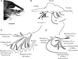 Cranial Nerves Worksheet External Fish Anatomy Gallery Learn Human Anatomy Image