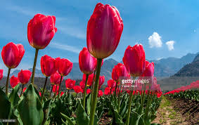 Images Of Tulip Flowers - spring flowers in bloom in asia u0027s largest tulip garden photos and