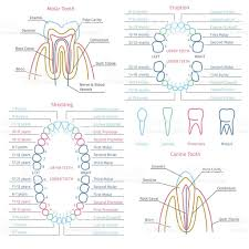 Dental Anatomy Notes Images Learn Human Anatomy Image