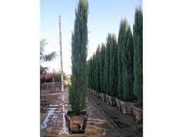 hemlock tree fast growing privacy trees nurseries trees big
