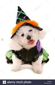 bichon frise funny bichon frise dressed in halloween fancy dress studio picture