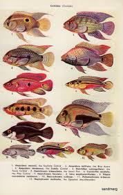 84 best fish identification images on pinterest aquarium ideas