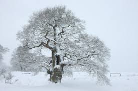 oak tree with snow in albury park photo wp22651