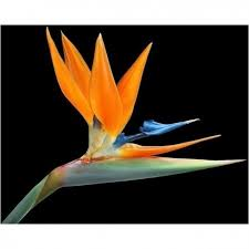 bird of paradise flower bird of paradise flower seeds strelitzia reginae