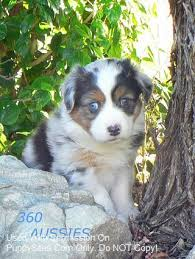 australian shepherd breeders near me 8 best dog australian shepherd images on pinterest dogs
