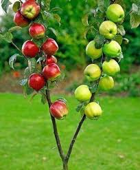 best 25 patio fruit trees ideas on fruit plants how