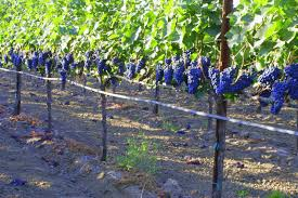 how to build trellis growing concord grapes grapevine trellises and why you need them