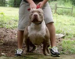 american pitbull terrier yavru xxl biggest best extreme pitbulls american bully breeder kennel