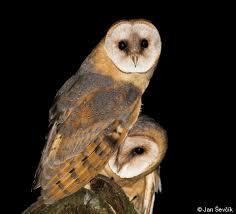 Scientific Name Of Barn Owl Tyto Alba Common Barn Owl