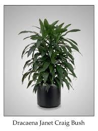 best low light indoor trees indoor trees low light