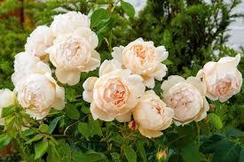 Most Fragrant Plants - planting david austin roses at my farm the martha stewart blog