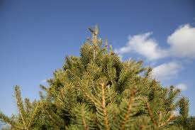 your guide to mid michigan u cut tree farms mlive