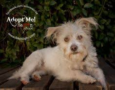 australian shepherd rescue san diego and friends twiggy is a terrier mix adoptable dog from aussie rescue san diego